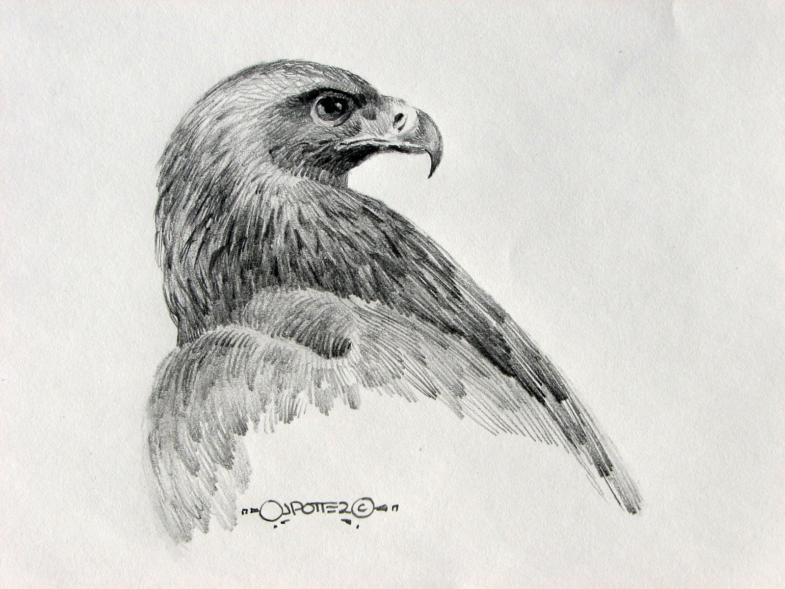 Eagle sketches and drawings pencil drawings of eagles